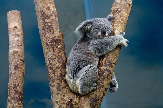 Koala asleep in the fork of the branches of a eucalyptus tree.
