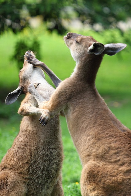When they fight kangaroos are known to punch and to kick.