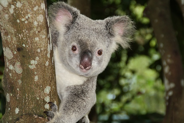 Koalas are a symbol of Australia wildlife.