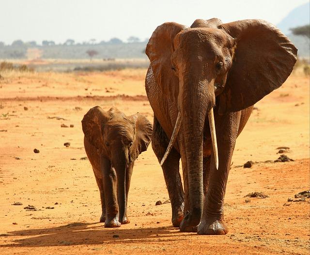 An elephant's pregnancy lasts 22 months.