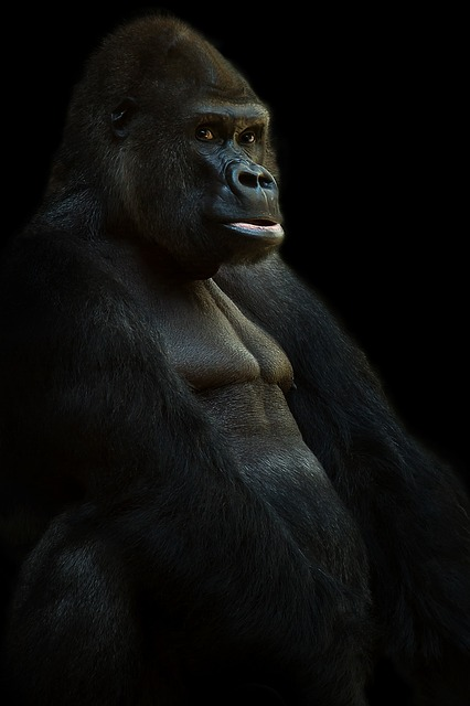 Gorillas are the largest species of primates with the males often being twice as large as the females.