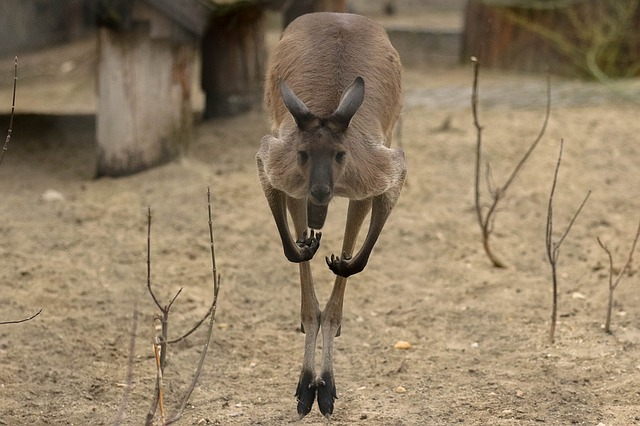 Kangaroos are amazing creatures with natural athletic ability. Not only can they jump high but they run fast...reaching speeds of up to 50mph a row can outrun some racehorses.