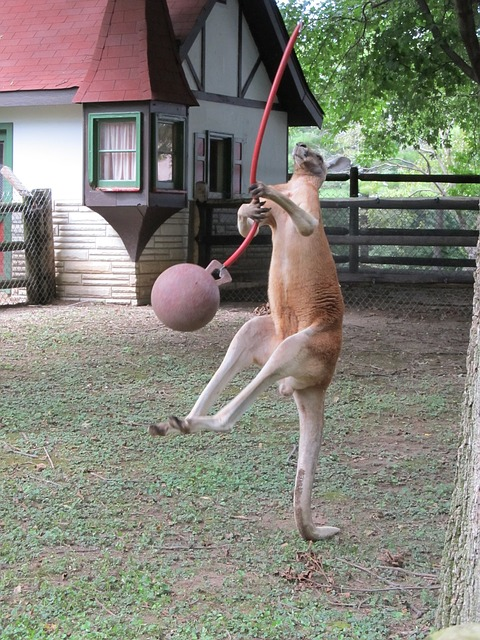 Kangaroos are the largest land animal who hops. In fact hopping is their first choice on how they move from one spot to another