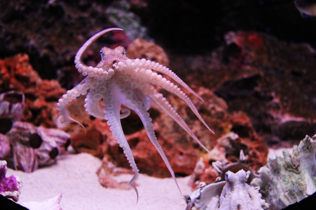 An octopus will often choose to walk instead of swim because its less stressful on his/her heart.
