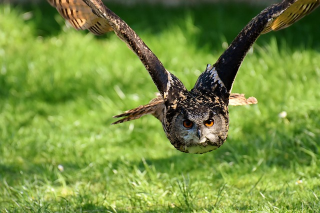 An owl in flight in attack mode