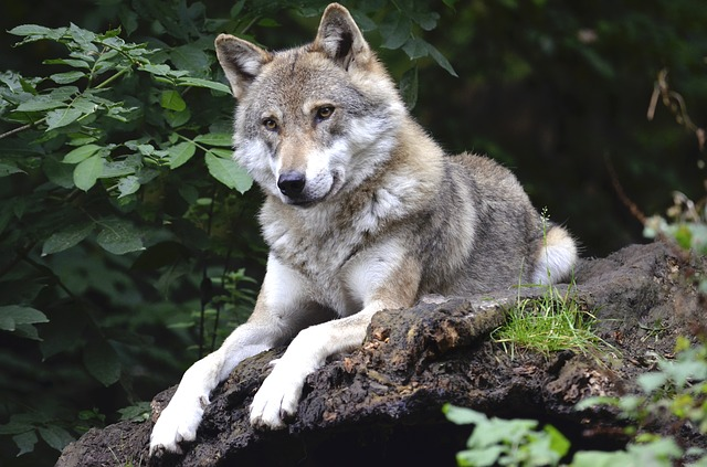 Wolves are known to be extremely committed once they find a mate and stay together until death separates them.