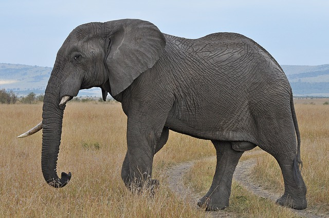 Did you know that elephants are right tusked or left tusked just like humans are right handed or left handed?