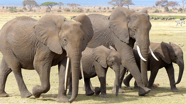 Elephants are led by the oldest female in the group (team captain) called a Matriarch who decides when the herd (team) moves and how often every day.