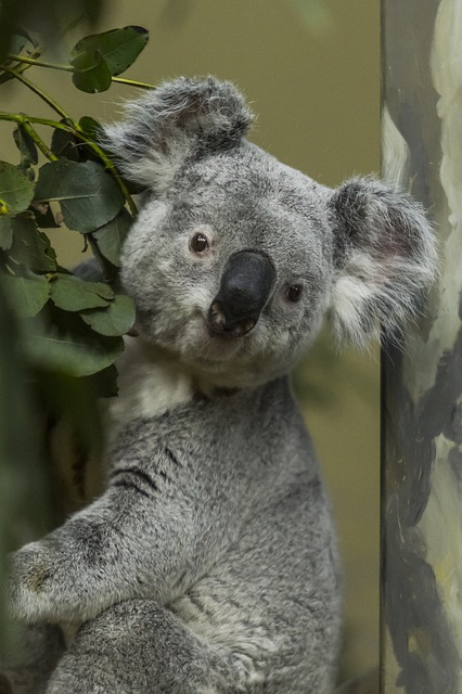 Koalas are only found in Australia and make their living in eucalyptus trees. The koala can consume a kilo of poisonous eucalyptus leaves with no problem.