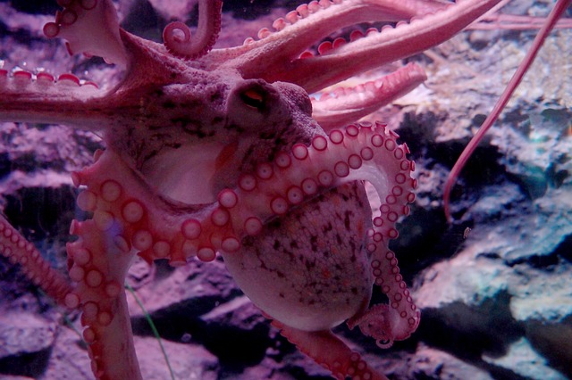 An octopus has eight arms and each of the arms thinks and operates independently as if it has a mind of its own