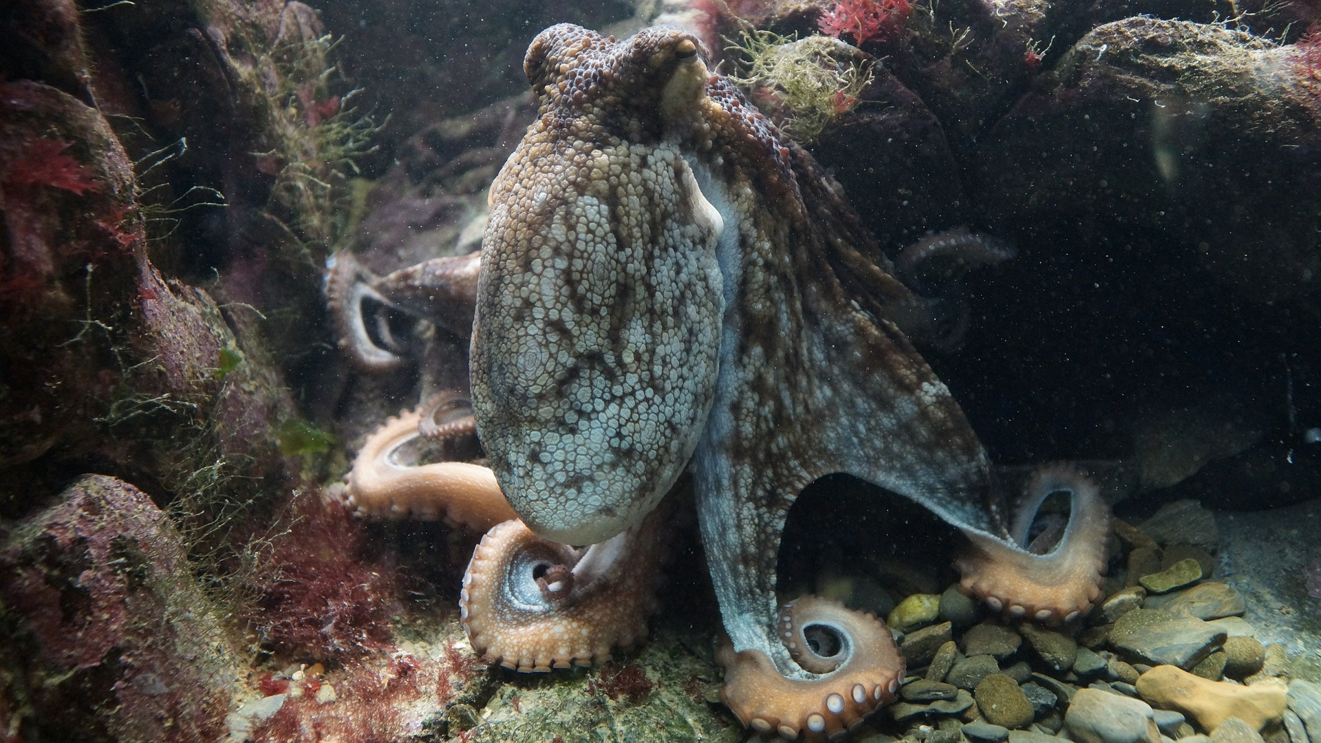 The octopus is an invertebrate which means it doesn't have any bones in their body. They can get into or squeeze through the tiniest of holes and cracks.