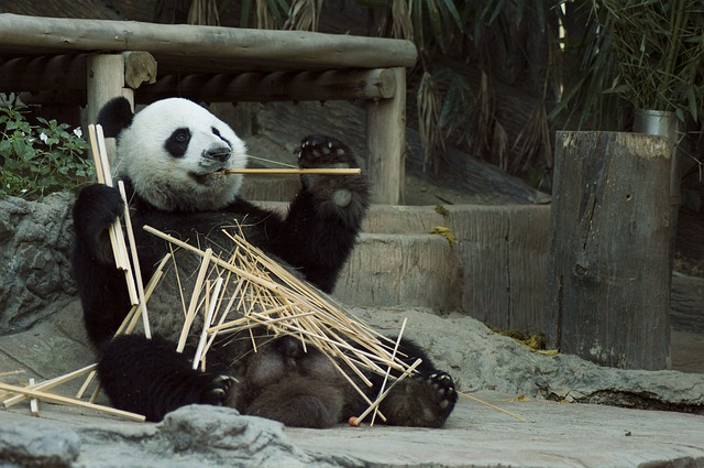 Pandas have meat eating teeth but they primarily consume bamboo and on occasion they eat fruit.