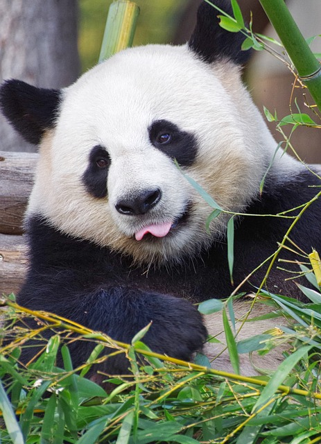 Poaching and the loss of their natural habitat are two additional reason why panda bears have been on the endangered list since 2006.