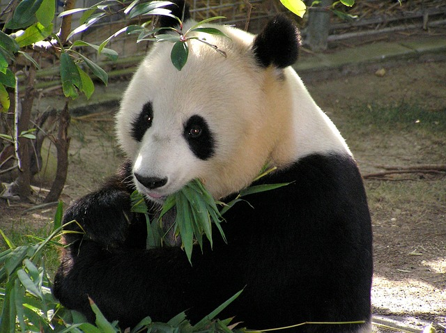 An adult panda spends 14 hours a day eating between 12 - 35 kilos of bamboo a day! That's about 30 ponds a day..that's  alot.