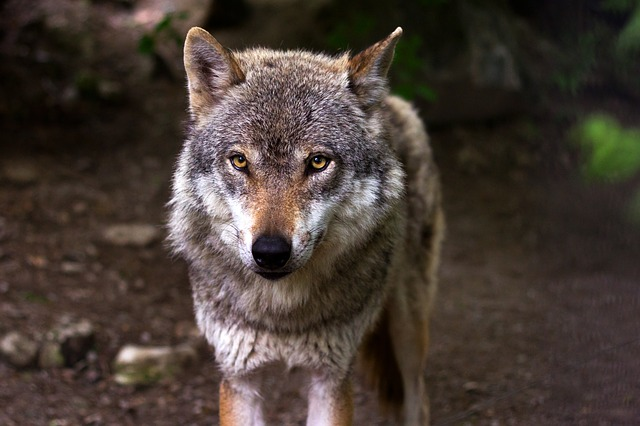 Male Wolf in the wild.