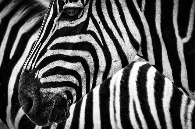 Zebra closeup